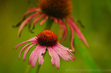 Pink-Red Coneflower
